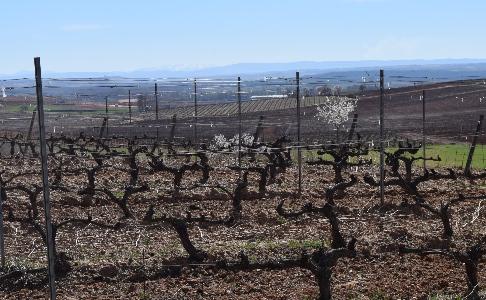 Las viñas en Alonso del Yerro