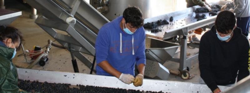 Mesa selección uva en Alonso del Yerro