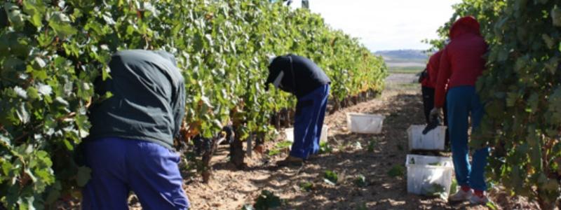 Recogiendo uva tempranillo