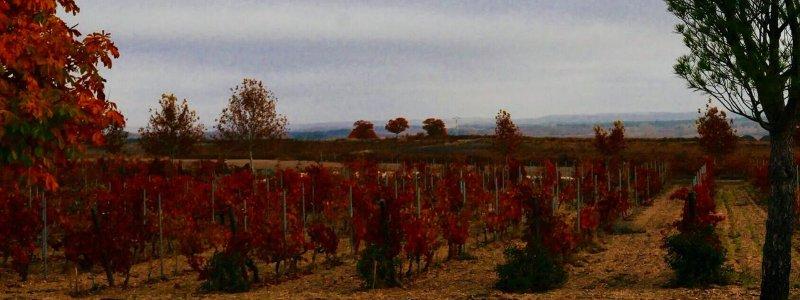 Colores de las viñas en otoño en Alonso del Yerro