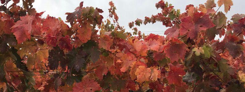 Las viñas rojizas en Alonso del Yerro