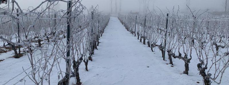Viñas nevadas en Alonso del Yerro